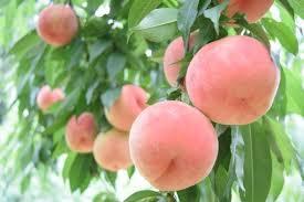 桃農家の写真